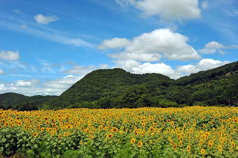 平倉-足ヶ瀬 ひまわり畑